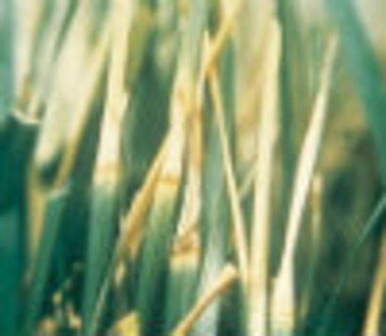 Dreschlera Leaf Spot