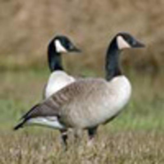 Geese - Managing Canada Geese