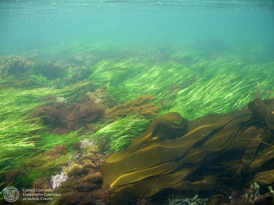 Cornell Cooperative Extension | Kelp Aquaculture Feasibility Study