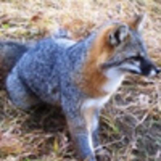 Fox (Grey Fox)