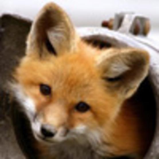 Fox (Red Fox)