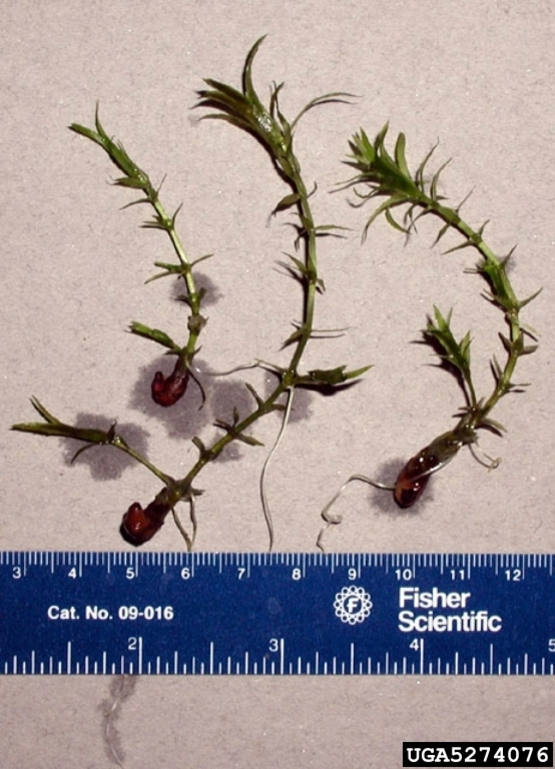 Hydrilla showing foliage and tuber on a white/light colored background with a ruler showing centimeters and inches for scale. From Invasives.org