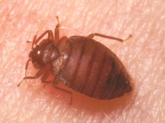 Adult Bed Bug- Photo from University of Minnesota Extension