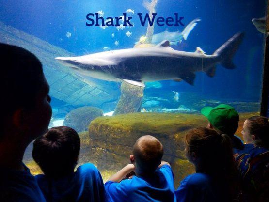sand tiger Shark SEMC SFEC