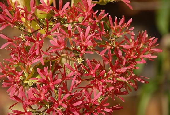 Heptacodium miconioides (Seven-son Flower)