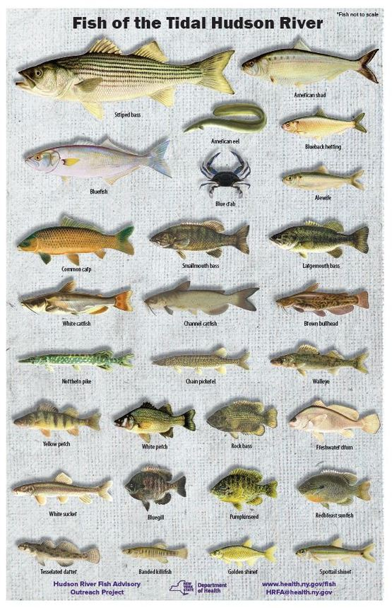 DOH fish identification poster