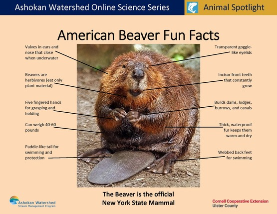 Beaver Fun Facts