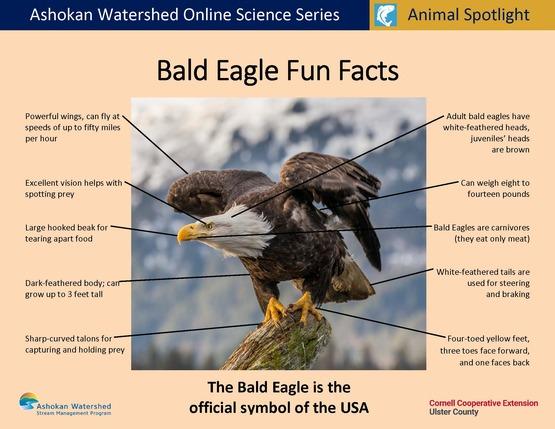 Bald Eagle Fun Facts