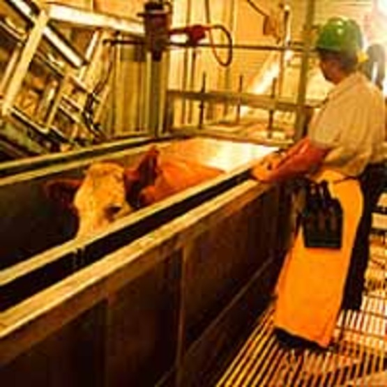 "Workers and cattle in a slaughterhouse , ""as displayed by Conveyor Restrainer at http://www.grandin.com/restrain/new.conv.rest.html """