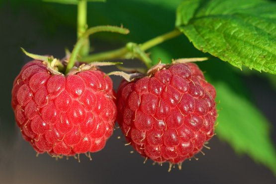 two red raspberries growing on a raspberry plant