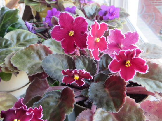 African violets with pink and purple flowers