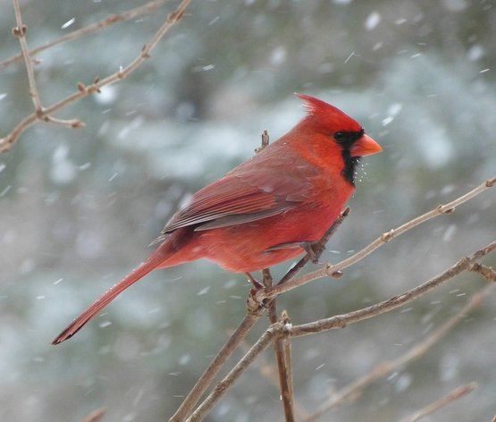 Male Cardinal on a branch in the snow