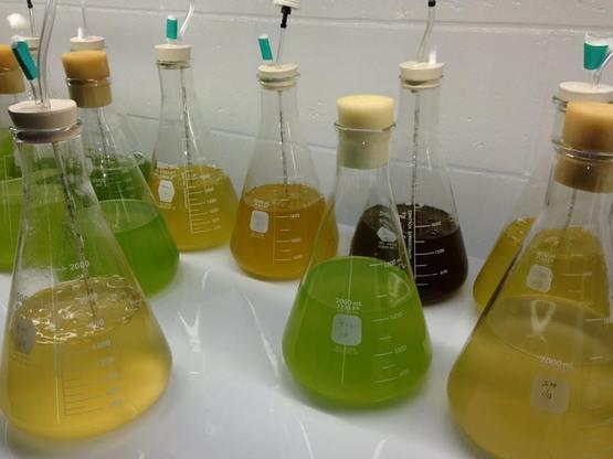 algae culture