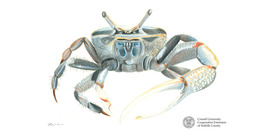 Fiddlercrab with logo and sig
