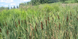Cattails in a ditch, Dryden NY