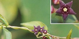Black swallow wort flower