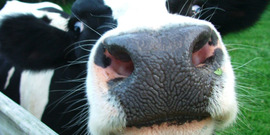 Dairy cows pict 1