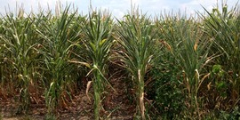 Corn in drought850x425