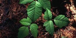 Poison ivy5