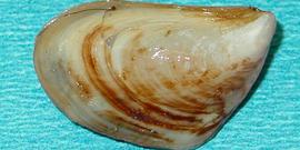 quagga mussel  Dreissena bugensis