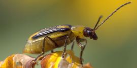 Striped cucumber beetle bugwood