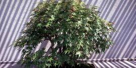 Japanese maple, Acer palmatum Thunb.