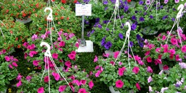 Hanging planters petunias