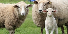 small ruminants (sheep or goat)