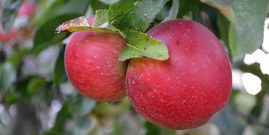 two red apples hanging on a tree
