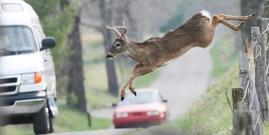 Deer jumping fence traffic istock jcrader cropped