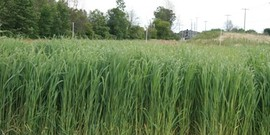 Mature stand of switchgrass in its third year of production at Michigan State University.