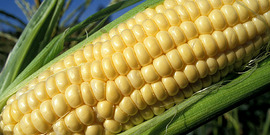 Corn. USDA photo