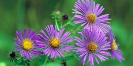 New england aster850x425