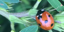 Ladybeetle with partridige pea  native friendly garden june 2016