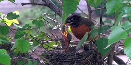 An American Robin feeding its young. Taken in Munster, Indiana.