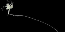 Fishhook waterflea