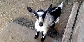 black and white goat at Lively Run Dairy, from their website