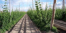 common hop (Humulus lupulus) L.; hops