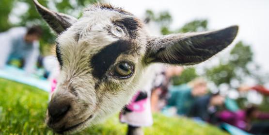 goat, yoga