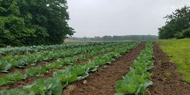 Cole crops Benton Township.