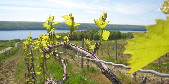 Atwater Estates vineyard; winery; grapes