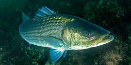 Striped Bass Underwater