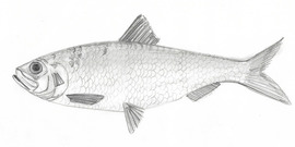 How to draw an alewife example marine digital education