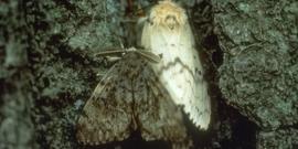 Gypsy Moth Adult Female and Male
