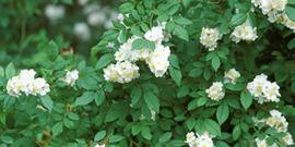 Multiflora rose2