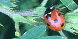 ladybug with partridige pea
