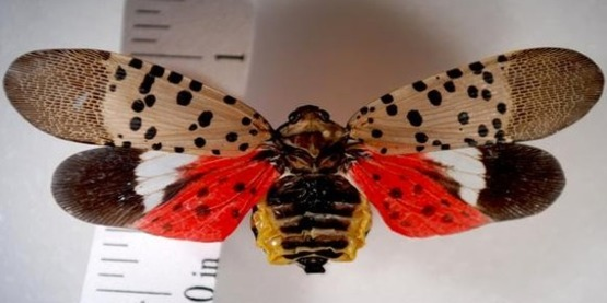 Spotted Lanternfly has been found in New York State