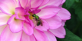 sweat bee on a bright pink dahlia