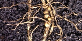 Female soybean cyst nematodes form bulbous, egg-filled nodules from which young SCN will hatch the following spring. Photo: Keith Weller/USDA
