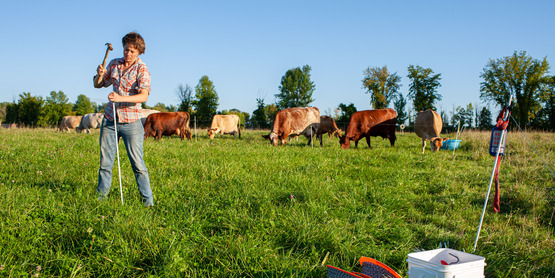 Cows graze at North Country Creamery